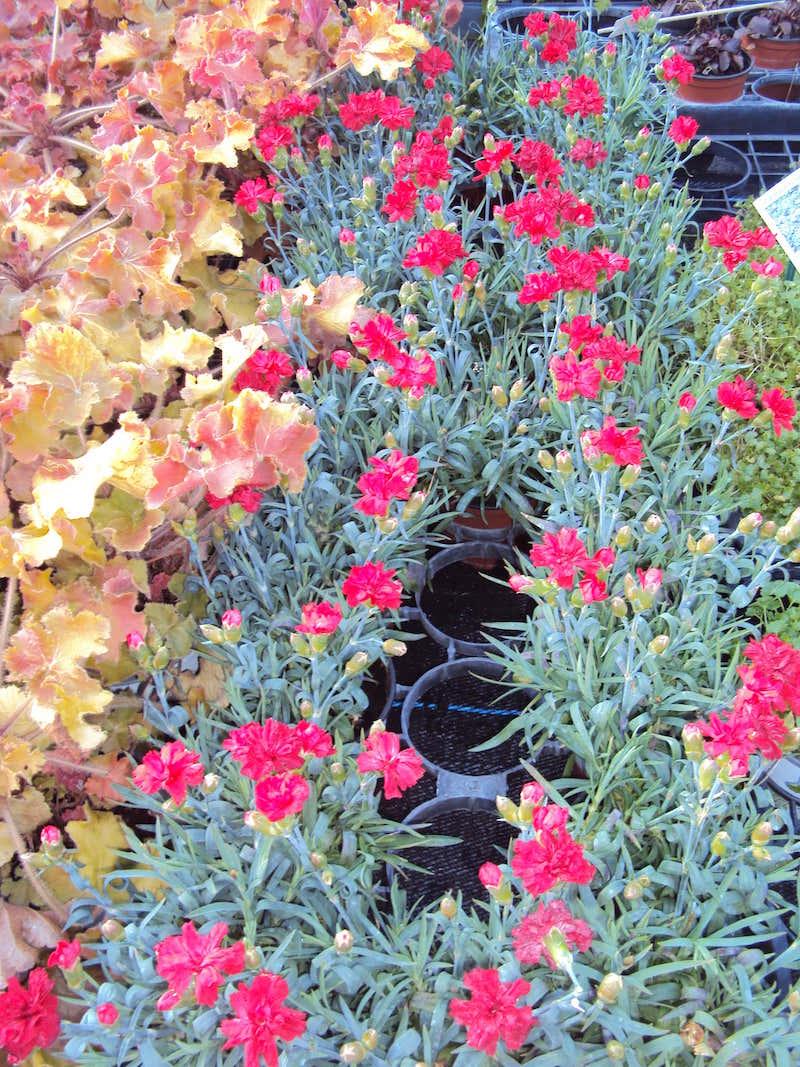 Coclicoh les plantes vivaces c est le moment de les for Acheter une plante